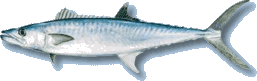 King Mackerel (aka Kingfish)