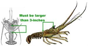 SaltFishMeasure_Lobster_F_300x158